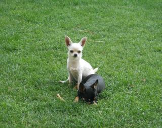 Chihuahua femmine pelo corto