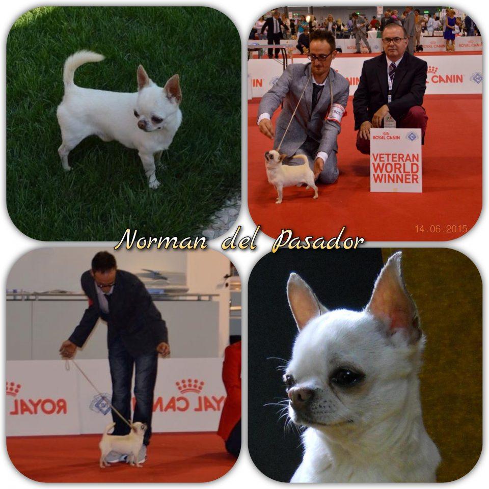 Norman del Pasador Chihuahua maschio pelo corto